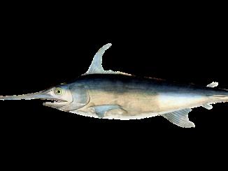 Pesce Spada come mangiarlo