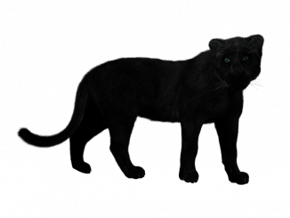 Avvistamento pantera nera a Gubbio
