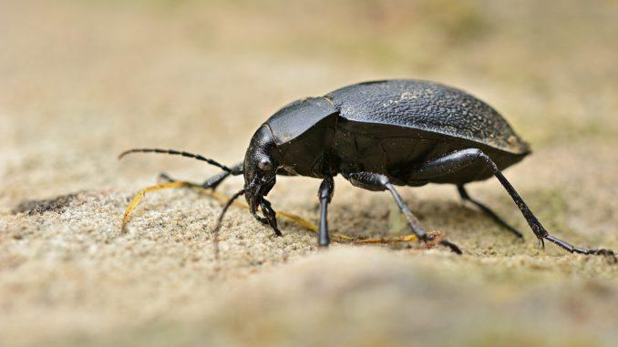 7 beetle-5224434_1920 (2)